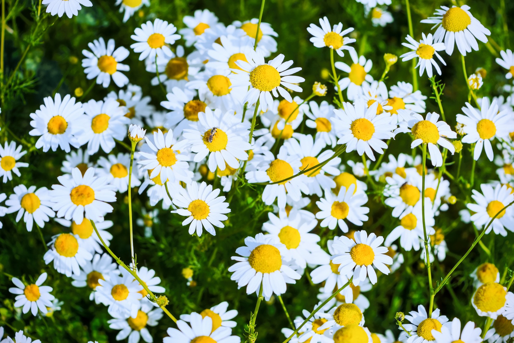 Summer field of blooming daisies. Beautiful landscape with daisies in the sunlight. White flowers in the summer meadow.