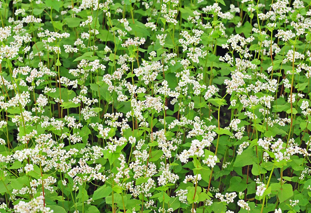 Field of buckwheat